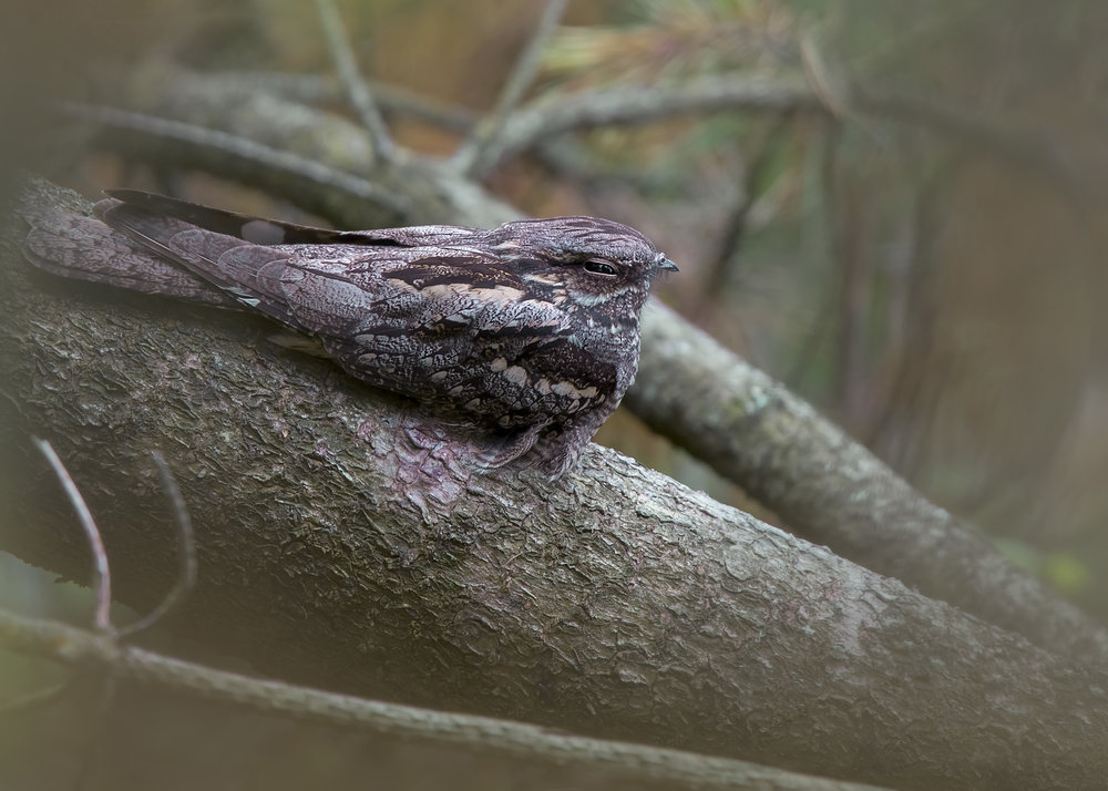 Nightjar Peaking 20th July.jpg
