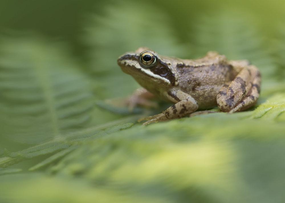 Froglet Bokeh.jpg