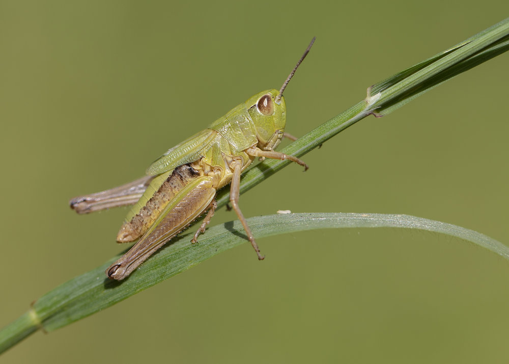 Meadow Grasshopper 12th July.jpg