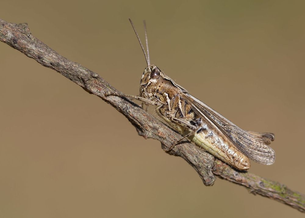 Mottled Grasshopper Female 12th July.jpg