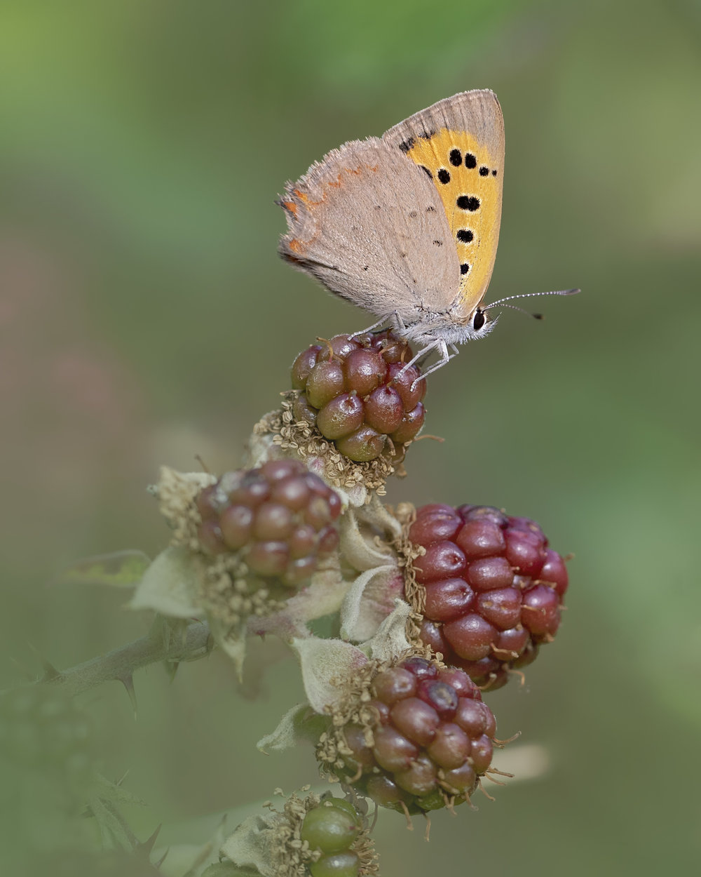 Small Copper Blackberry Bush 9th August.jpg
