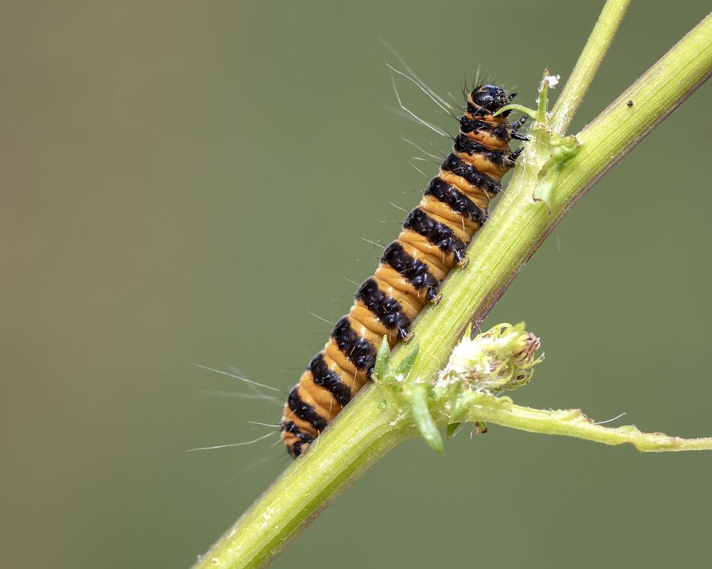 Cinnibar Caterpillar.jpg