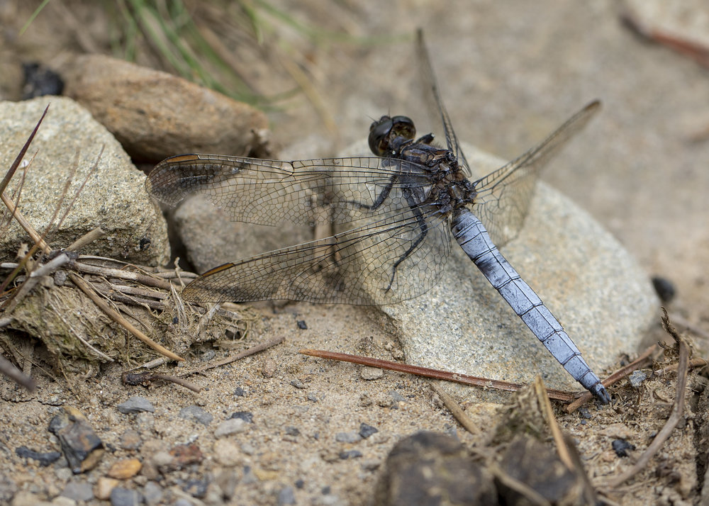 Male Keeled Skimmer 7th August.jpg
