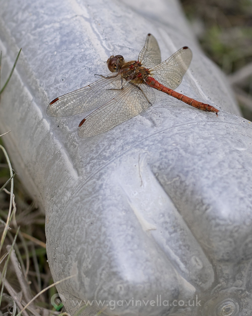 Common Darter 7th August copy.jpg