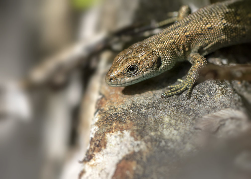 Common Lizard 7th August.jpg