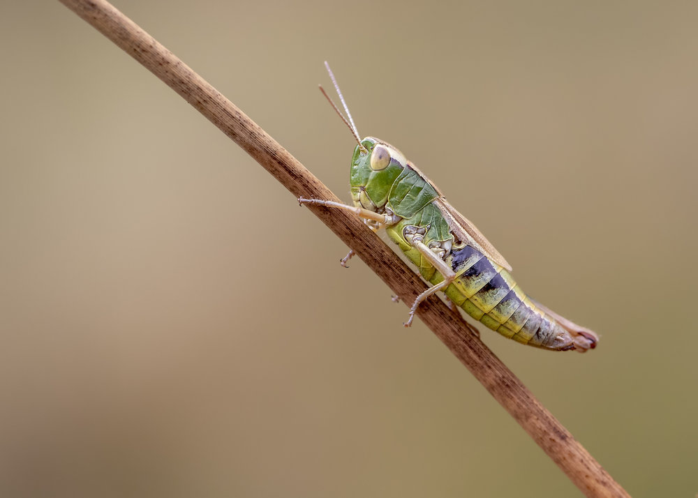 Meadow Grasshopper 7th August.jpg