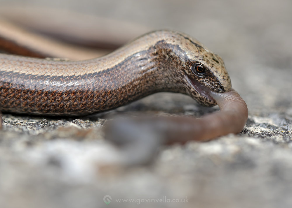 Slow Worm W 6th August.jpg