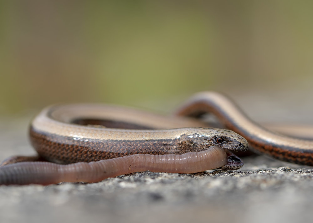 Slow Worm with Dinner 6th August.jpg