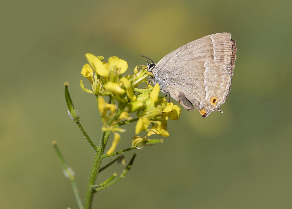 Pruple Hairstreak 6th August.jpg