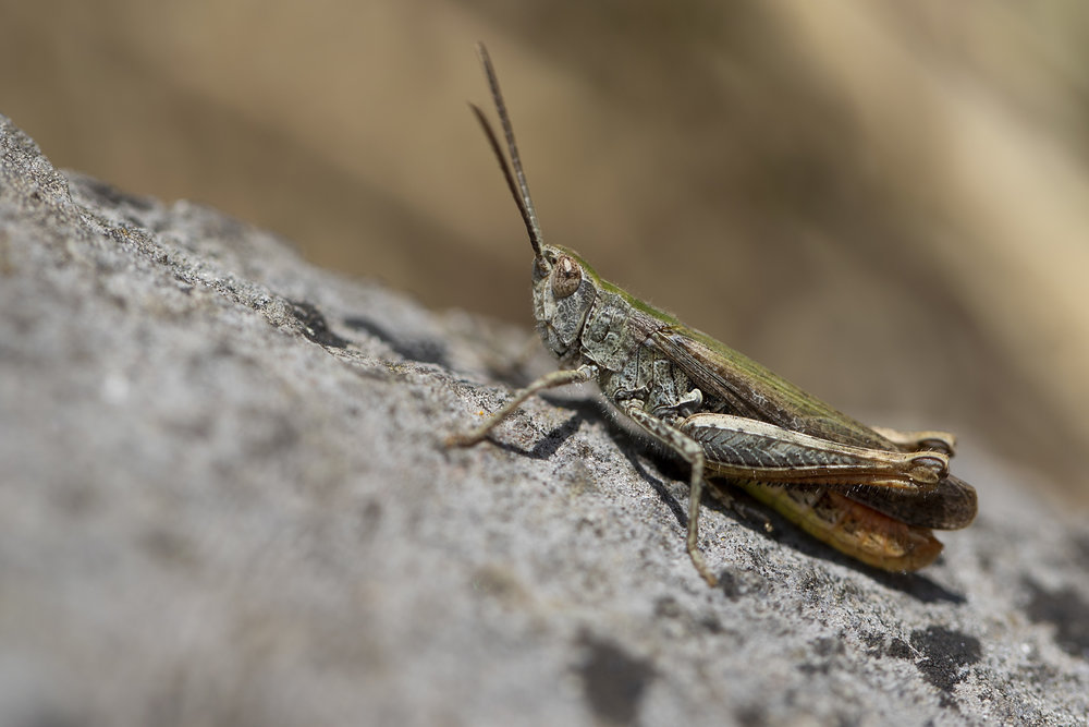 Male Mottled Grasshopper 5th August.jpg