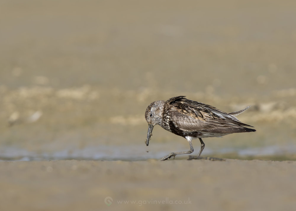 Dunlin Llandegfedd Wide 11th August W1.jpg