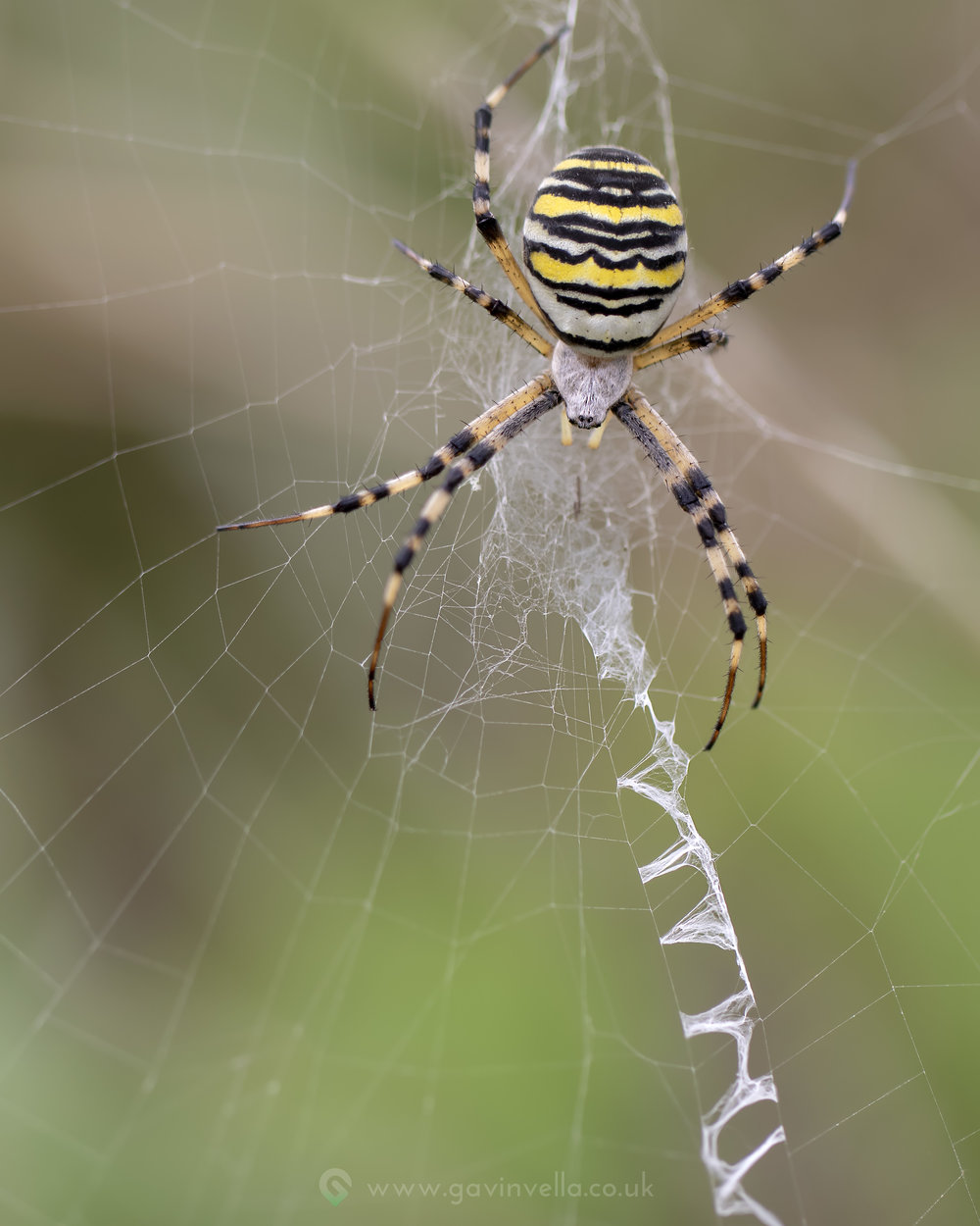 Wasp Spider Stack  w3th September copy.jpg