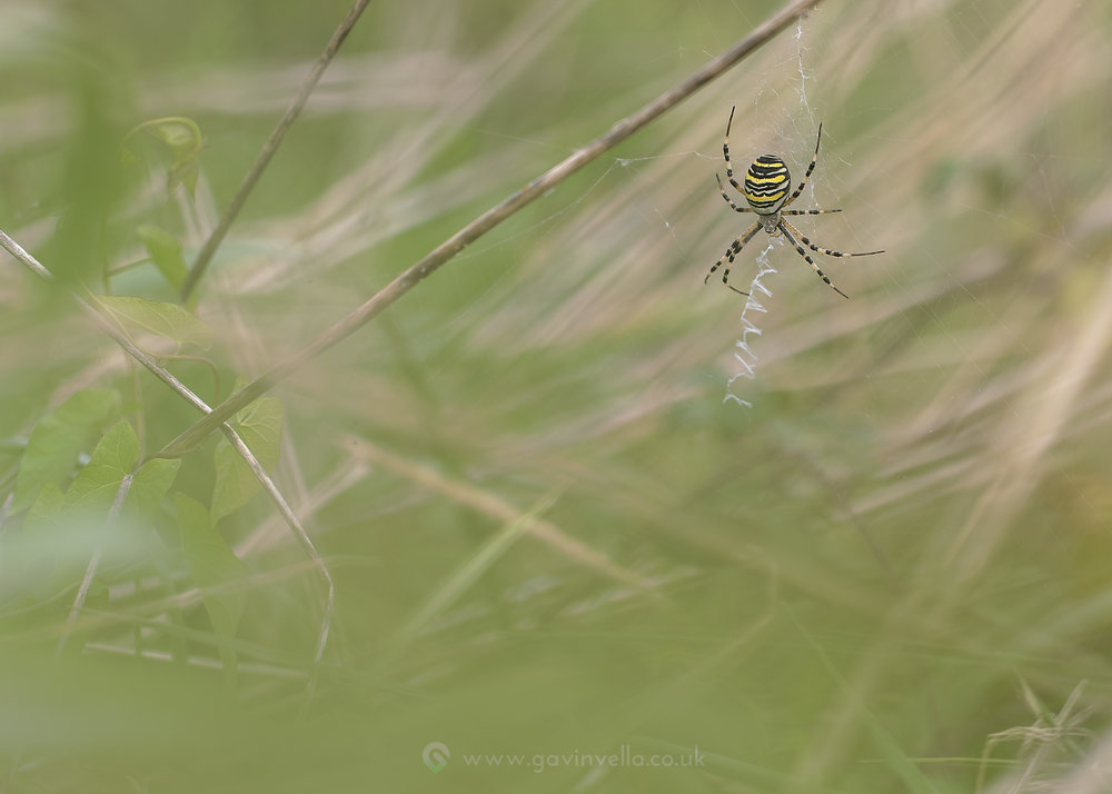 Wasp Spider Habitat W 1st September.jpg