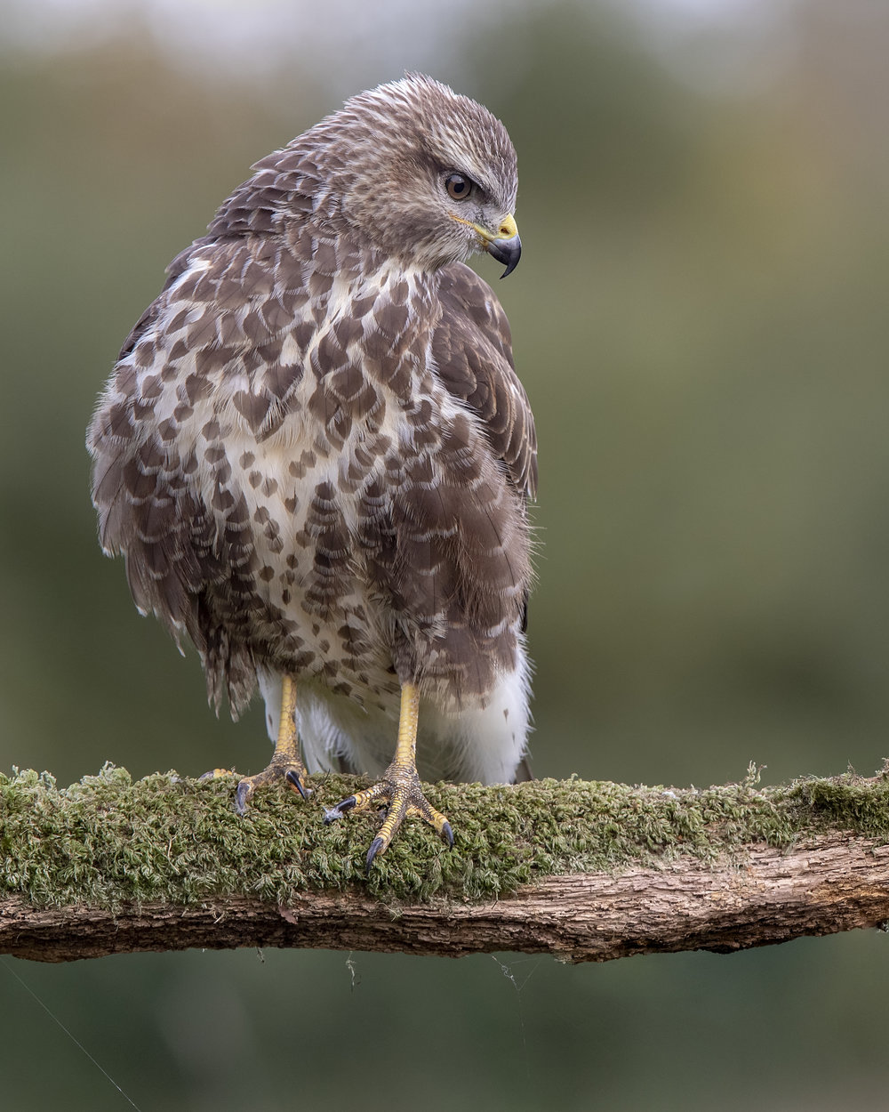 Buzzard Perched 7th September.jpg