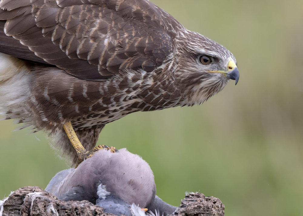 Buzzard Claiming Prize 7th September.jpg