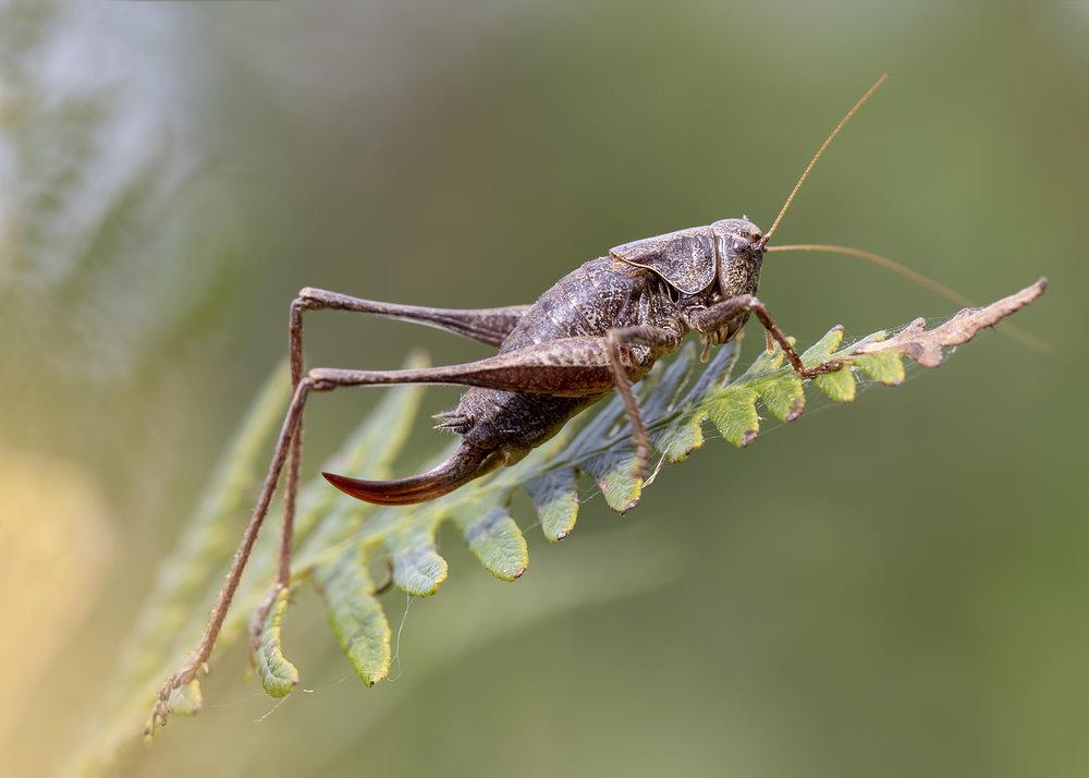 Dark Bush Cricket Fern 2nd September.jpg