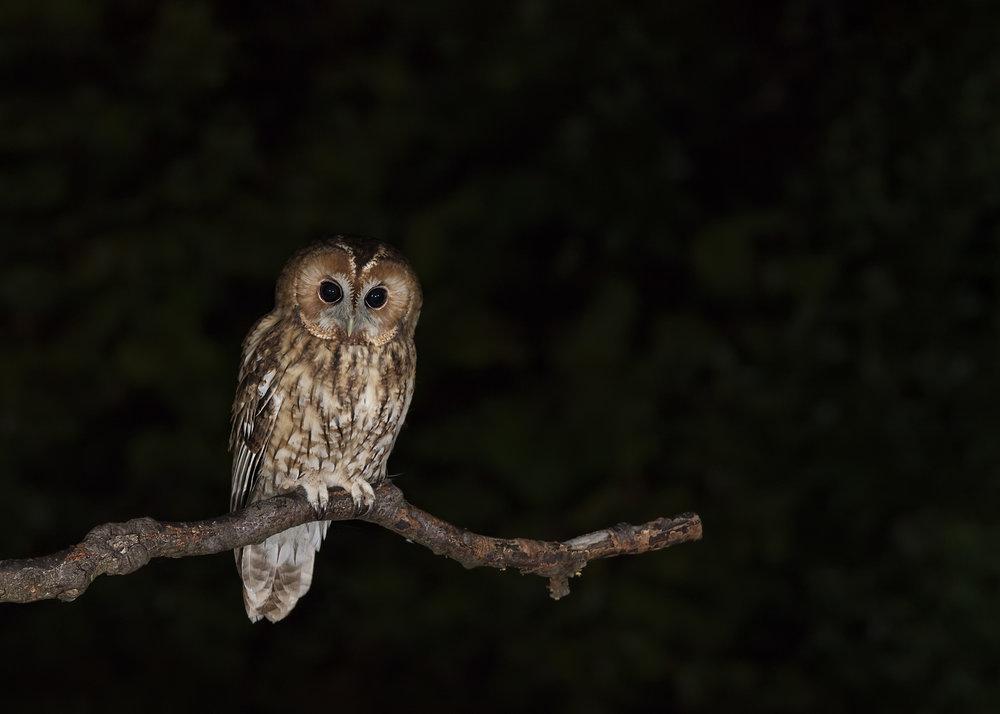 Tawny Owl Branching 3rd September.jpg