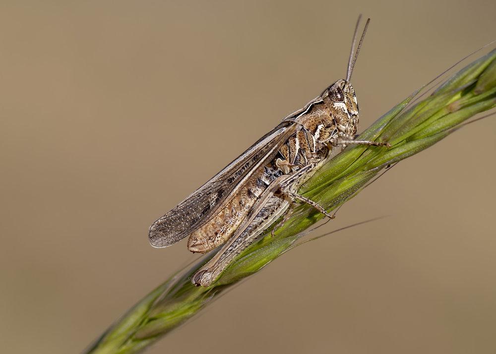 Mottled Grasshopper 1st October.jpg