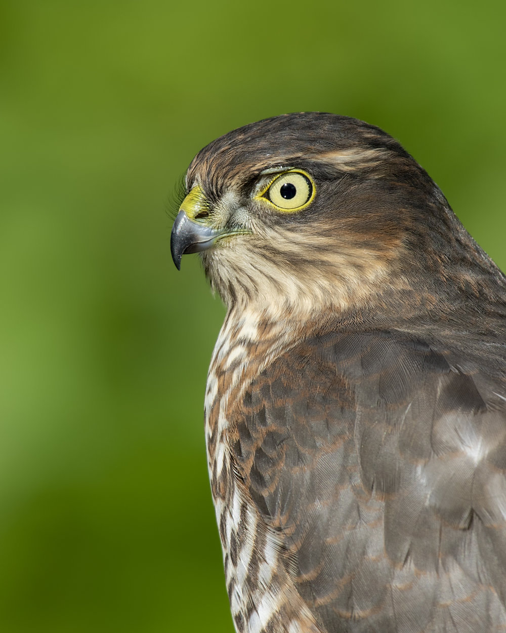 Sparrowhawk Headshot 23rd September.jpg
