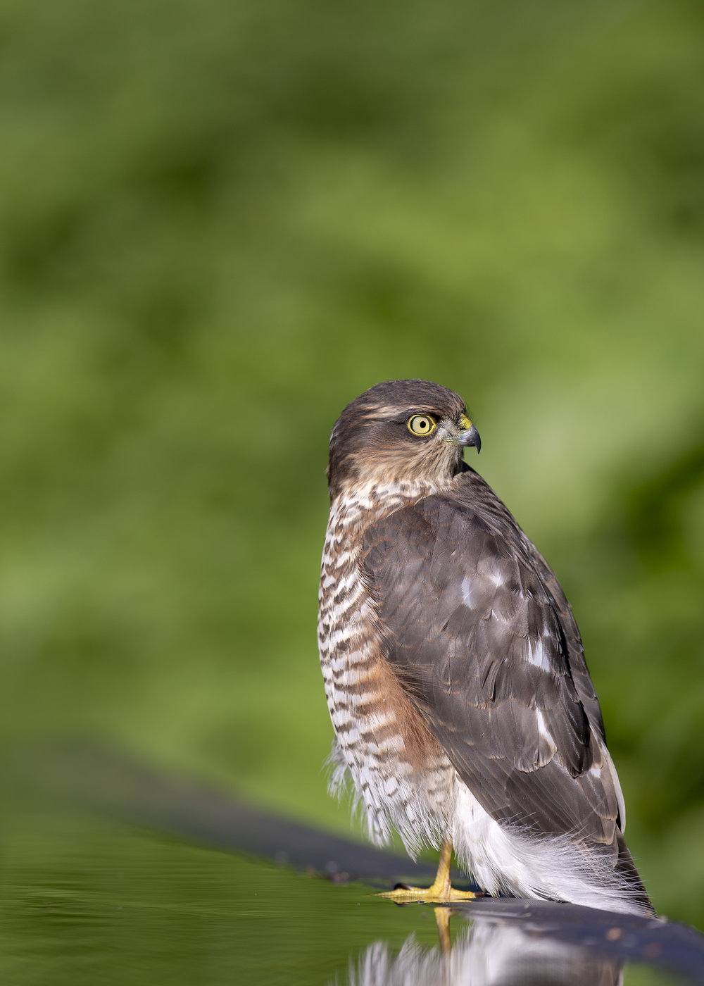 Sparrowhawk P 23rd September.jpg