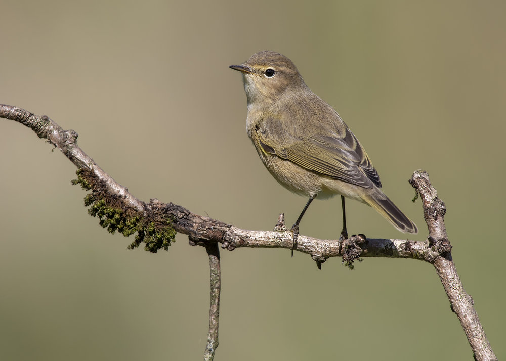 Chiffchaff Perched 23rd September.jpg