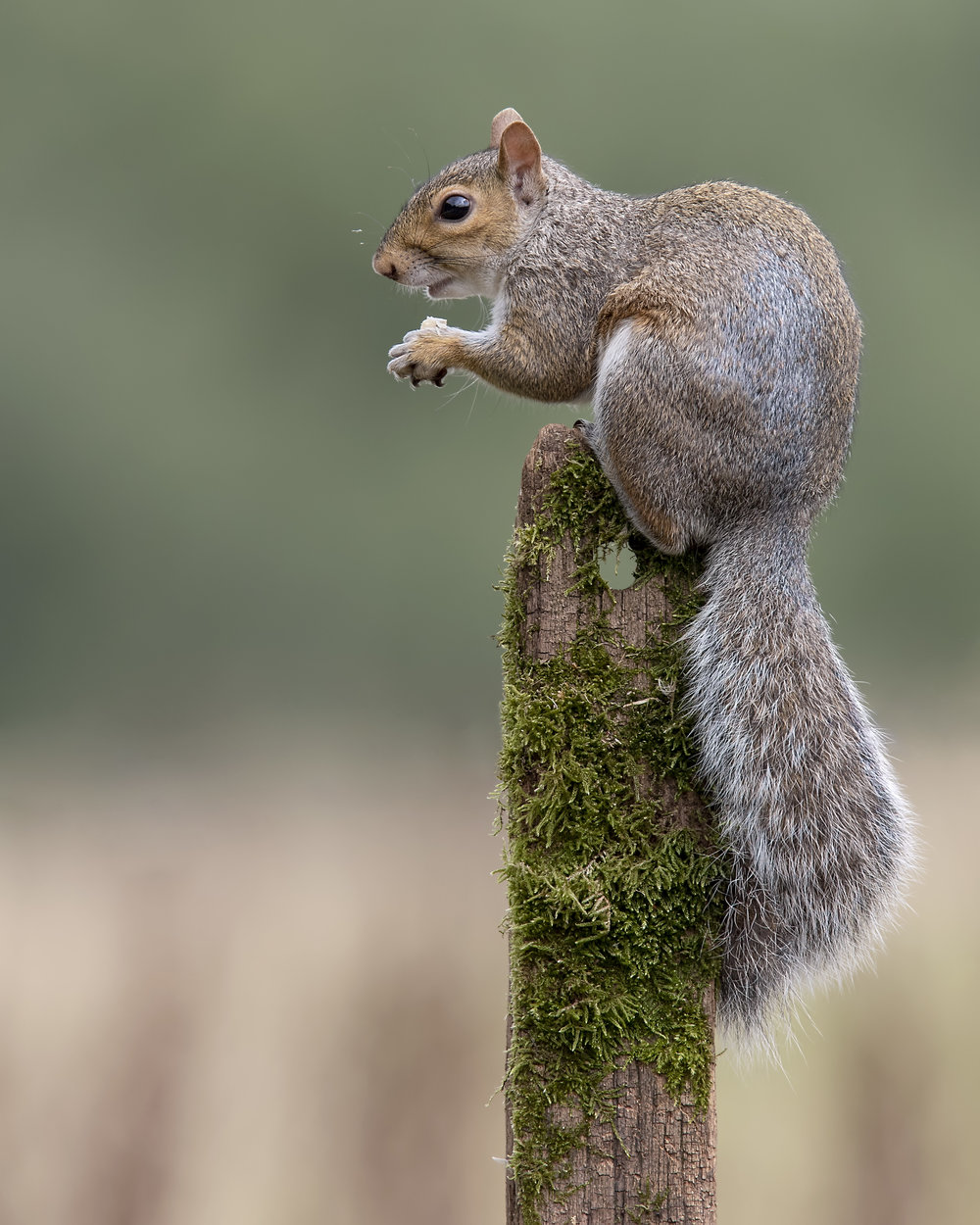 Grey Squirrel 1st September.jpg
