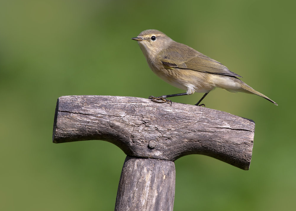 Chiffchaff Shovel Handle 24th September.jpg
