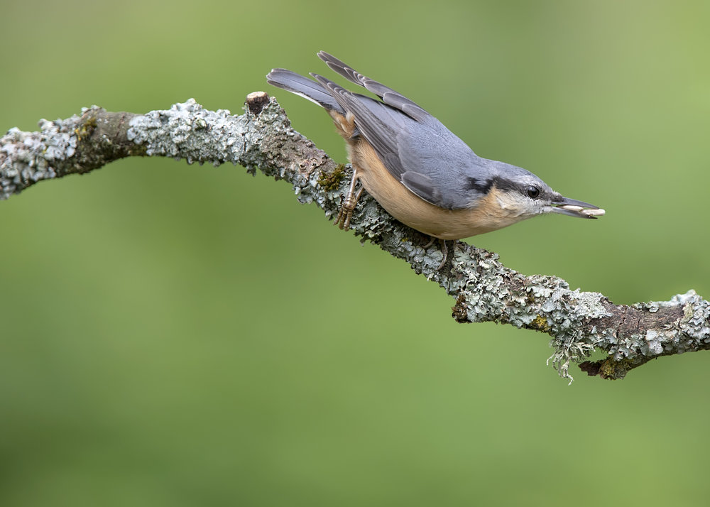 Nuthatch 2 19th August.jpg
