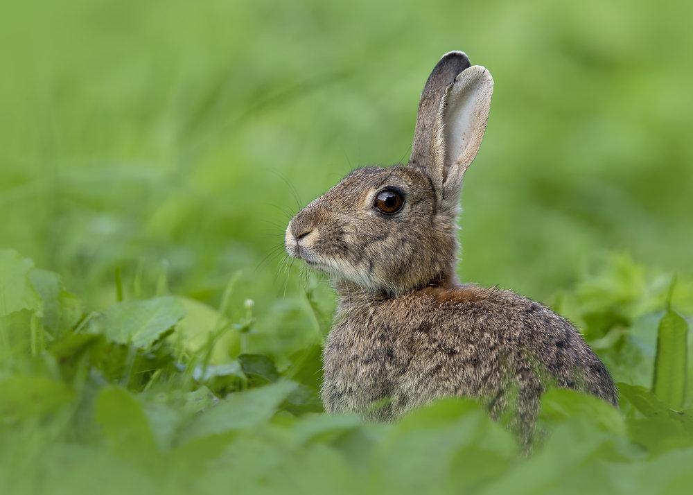 Rabbit 29th August.jpg