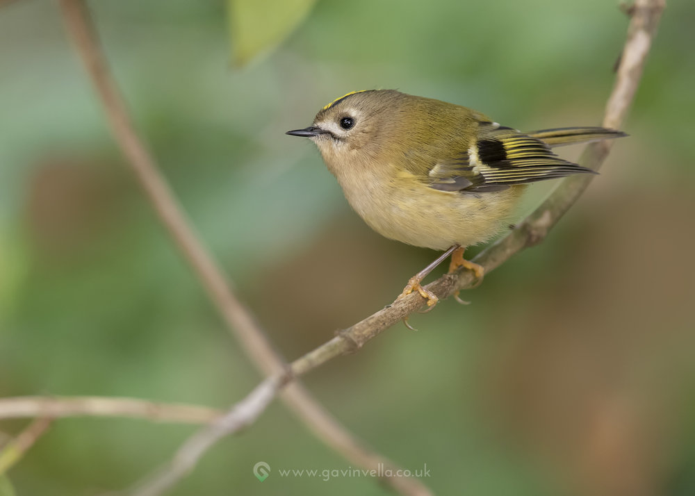 Goldcrest W 30th October.jpg