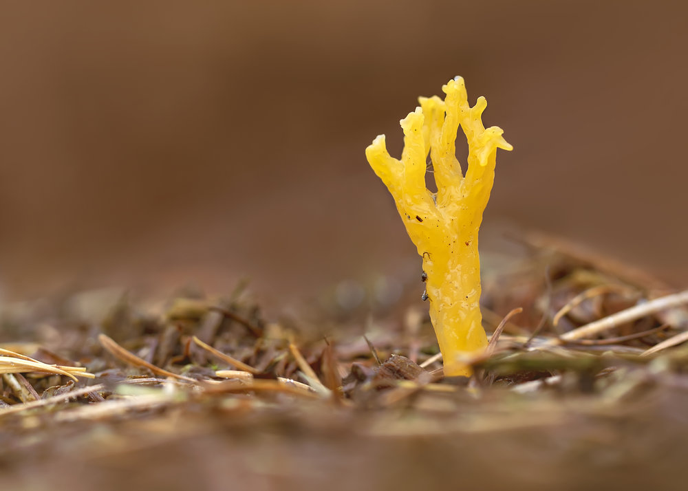 Yellow Stagshorn 6th November.jpg