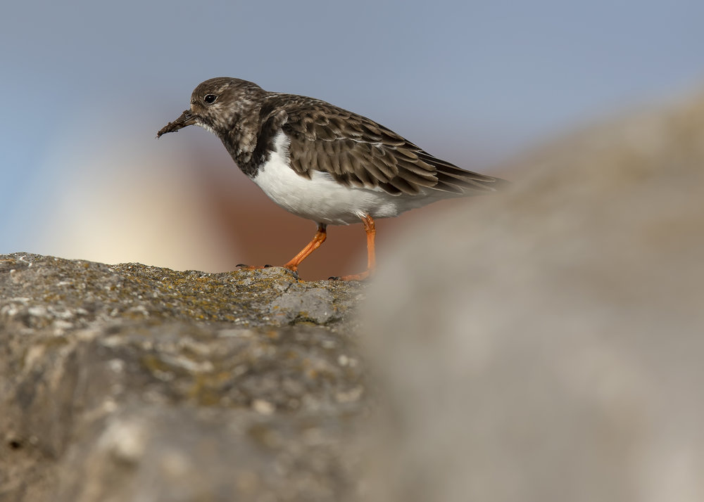 Turnstone Rock 13th November.jpg