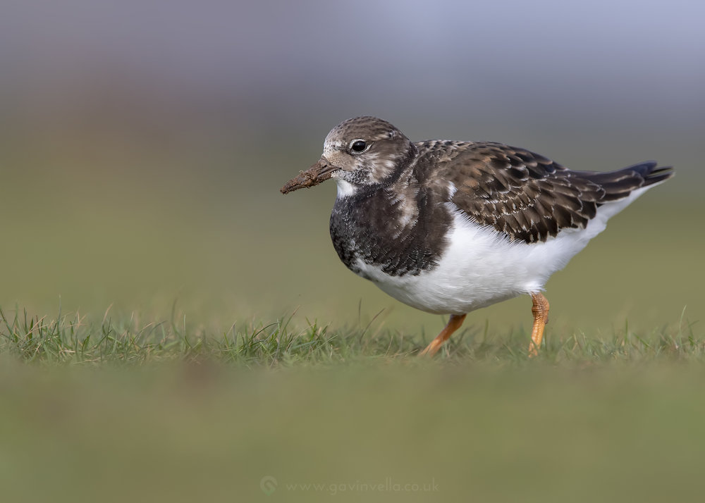 Turnstone Feeding W 13th November.jpg