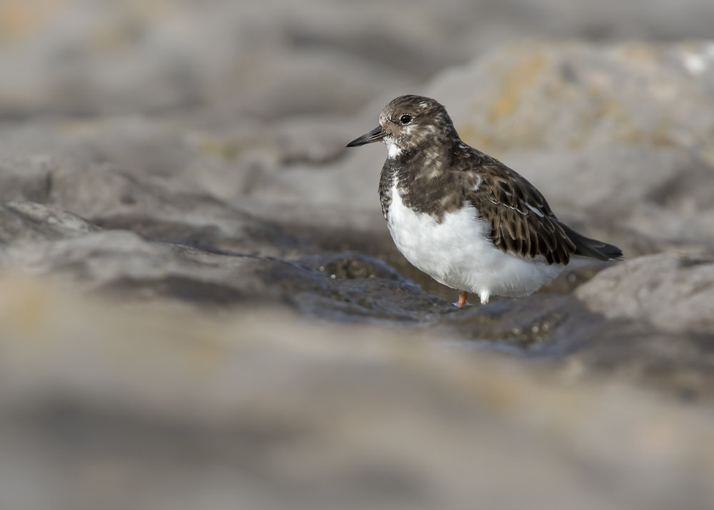 Turnstone Rocks 13th November.jpg