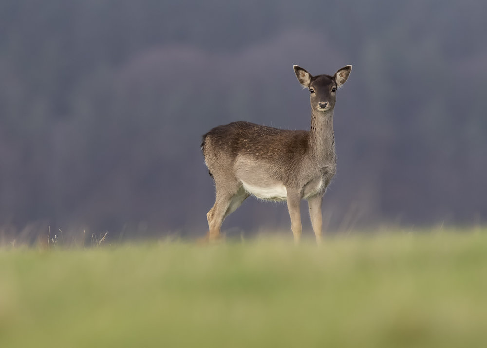 Fallow Doe 13th November.jpg