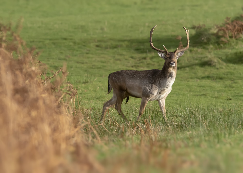 Fallow Deer Buck3 13th November.jpg