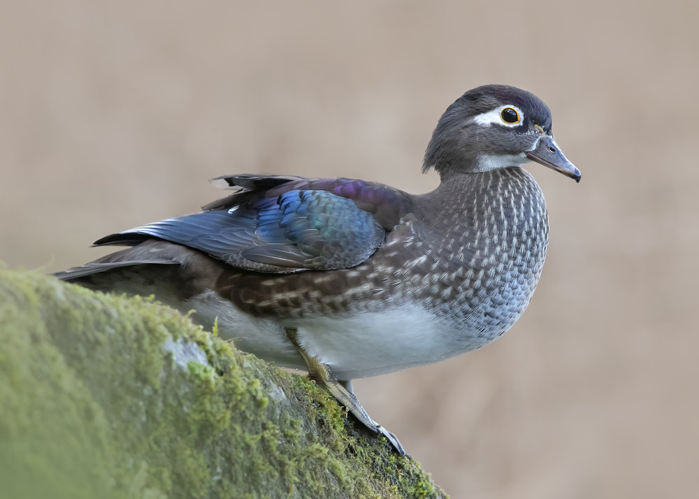Wood Duck Female Rock 3rd December.jpg
