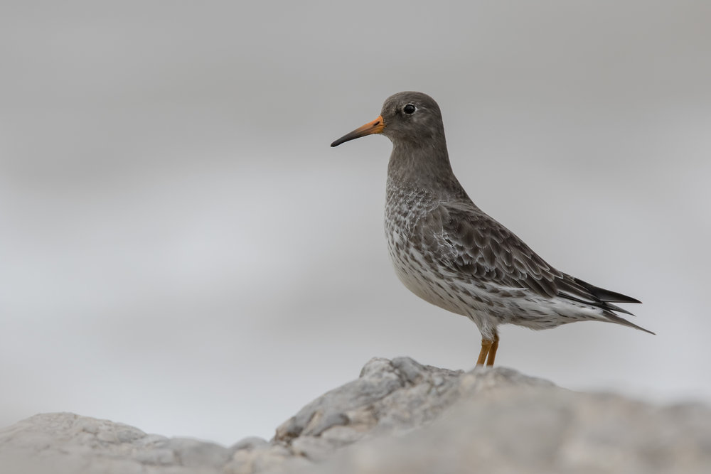 Purple Sandpiper 13th December.jpg