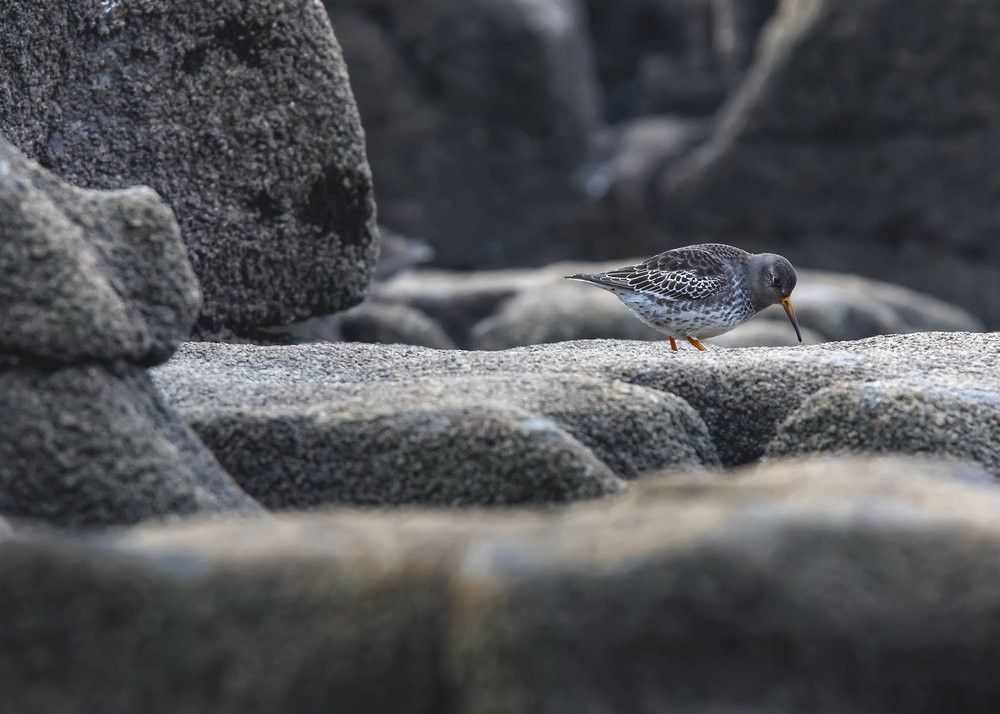 Purple Sandpiper Camo 13th December.jpg