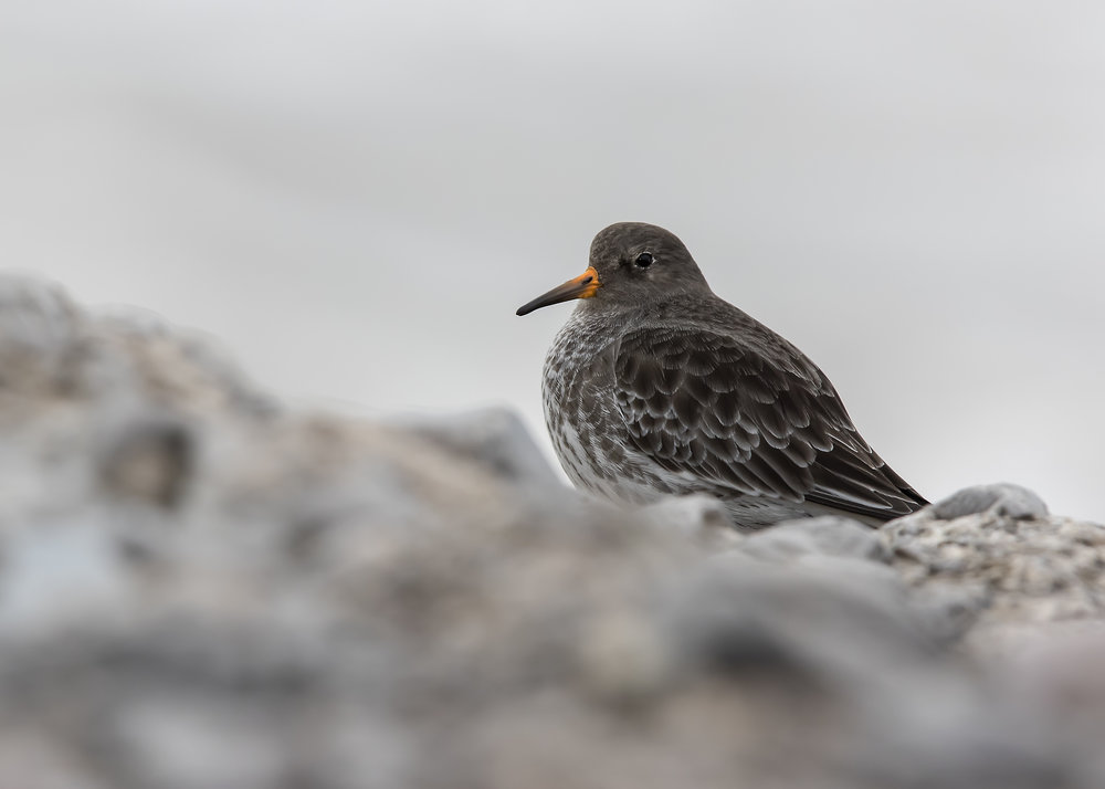 Purple Sandpiper H 13th December copy.jpg