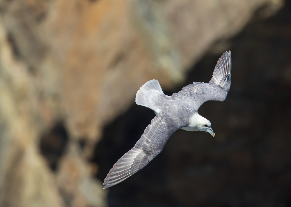 Fulmar Flight 2nd June .jpg