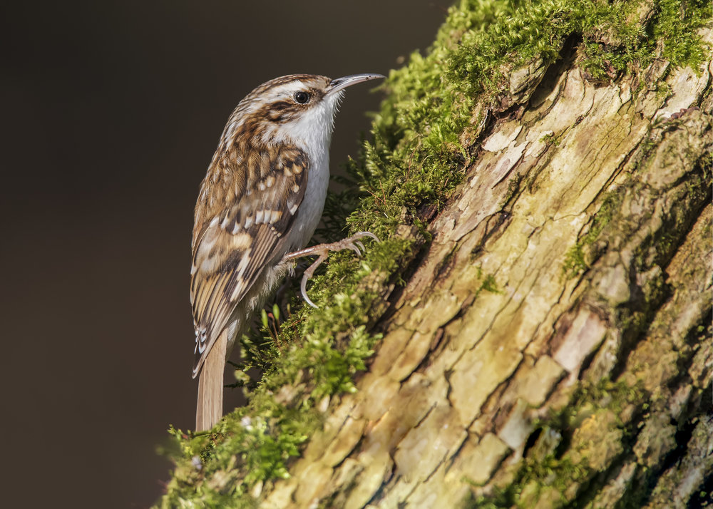 Tree Creeper 7th January.jpg