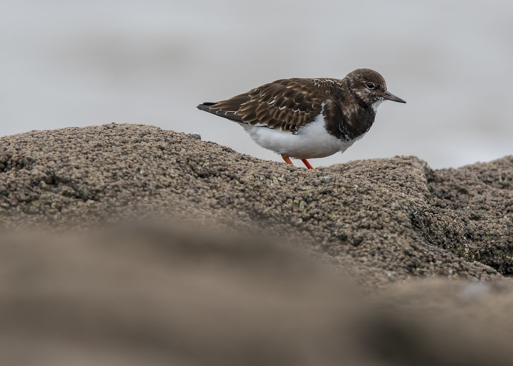 Turnstone Rocks 10th January.jpg
