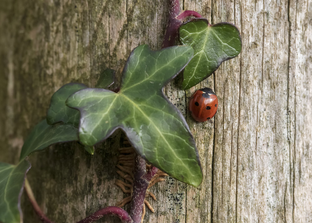 7-Spot Ladybird Ivy 25th January.jpg
