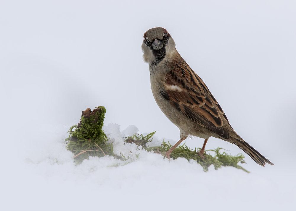 House Sparrow Snow 1st February.jpg