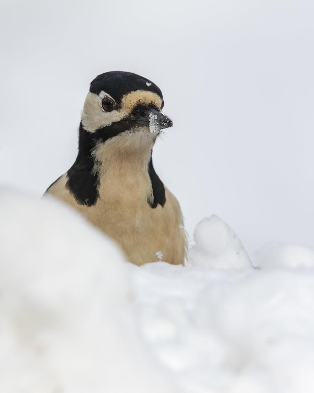 Woodepecker Snowbeak 1st February.jpg