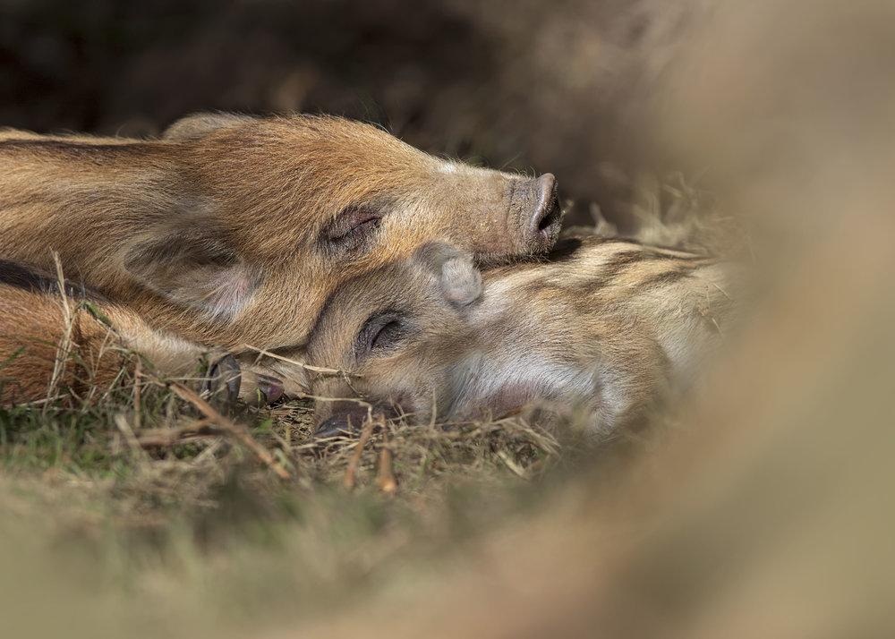 Sleepy Wild Boar 25th March.jpg