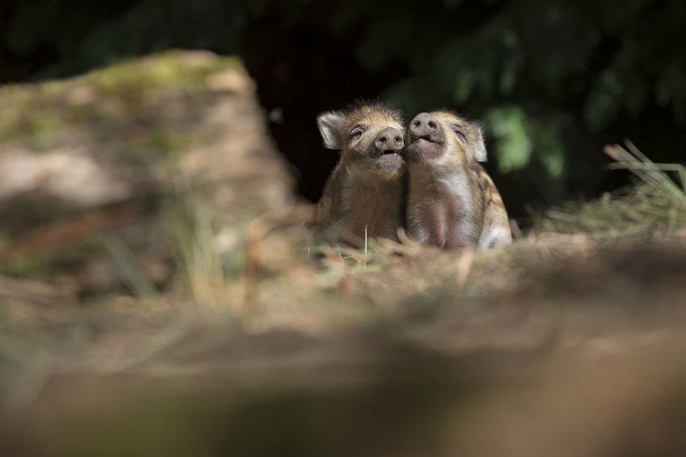 Wild Boar Siblings 25th March.jpg