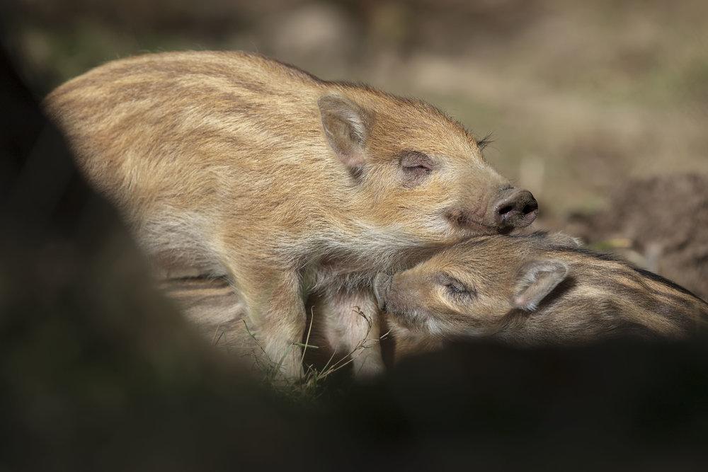 Wild Boar Piglets 25th March.jpg