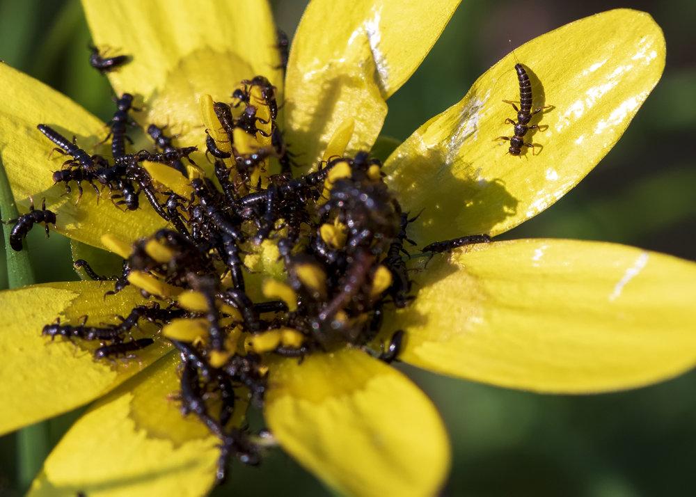 Oil Beetle Larvae2  27th March.jpg